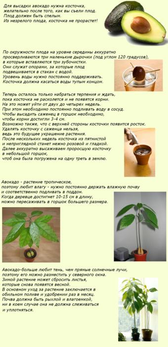 Авокадо в домашних условиях дает плоды 62