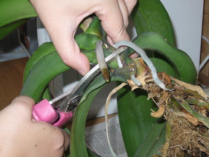 уход за орхидей фаленопсис в домашних условиях на ютубе