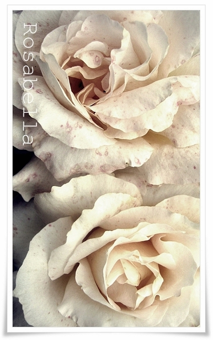 rose-advent (438x700, 208Kb)