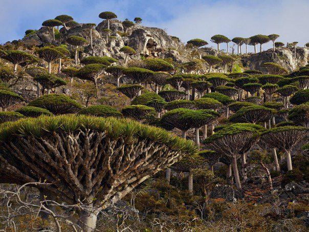Лес драконовых деревьев, остров Сокотра, Йемен (604x453, 89Kb)