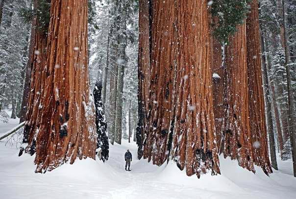Турист у гигантских секвой, Национальный парк Секвойя, Штат Калифорния, США (604x406, 64Kb)