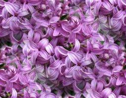 flor (63) (255x200, 19Kb)