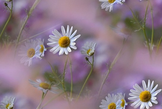flor (167) (544x368, 40Kb)