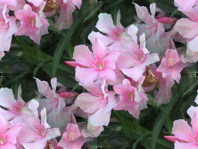 flor (224) (640x483, 65Kb)