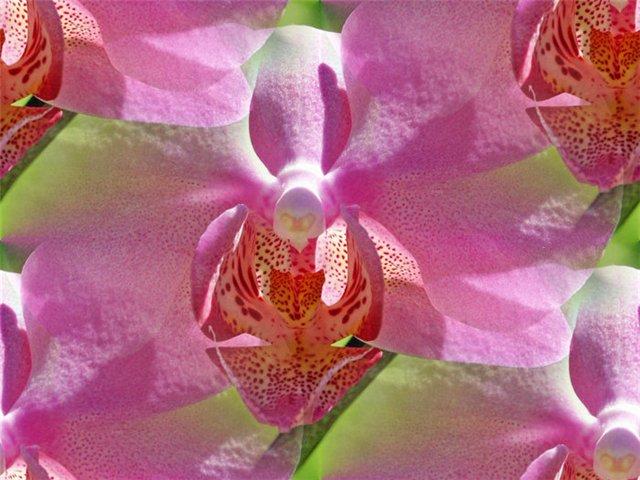 flor (212) (640x480, 68Kb)