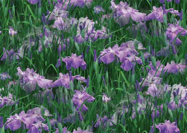 flor (199) (640x454, 89Kb)