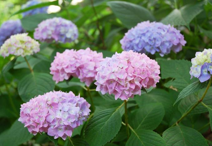 flowers-hortensia-2 (680x468, 59Kb)