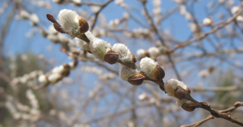 Pussy_willow_branch (480x251, 106Kb)