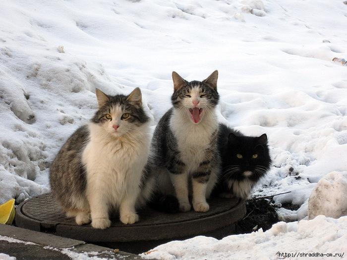 Питерские котики 2 (700x525, 250Kb)