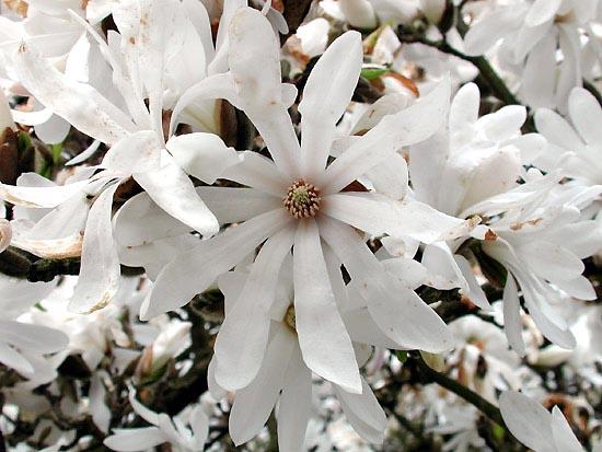 Magnolia-stellata (550x413, 71Kb)