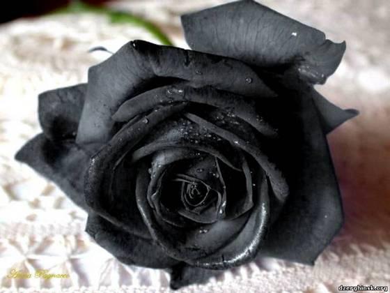 3109898_Roza_cher1 (560x420, 29Kb)