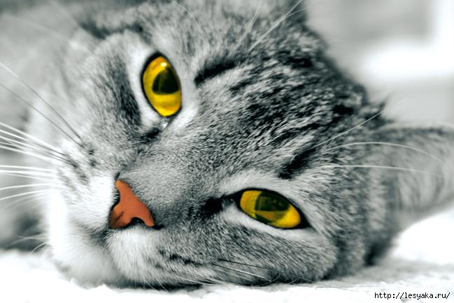 cat_yellow-0 (649x434, 130Kb)