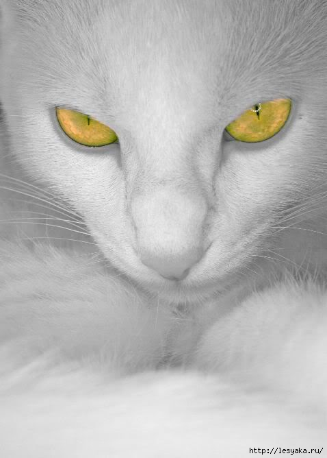 whitekittyyellowyes (478x668, 100Kb)