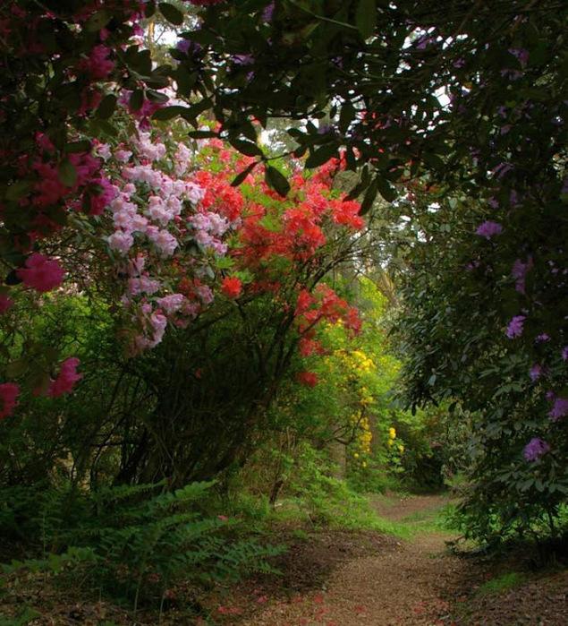 Рододендроновый парк-Westerstede Rhododendronpark. 31293
