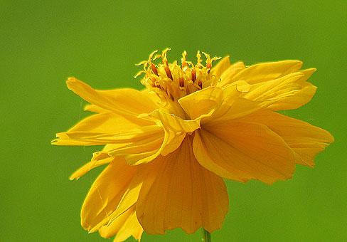 Это одно- или многолетнее растение Космос (Cosmos), принадлежащее к семье астровых, любит солнечный свет и небольшое...