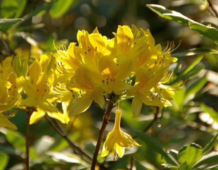 Рододендроновый парк-Westerstede Rhododendronpark. 15930