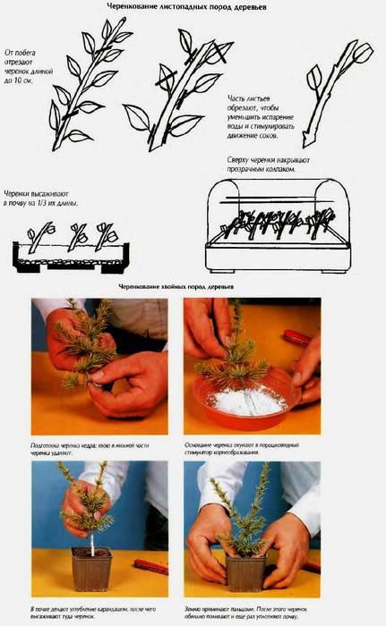 Как посадить бонсай не из семян в домашних условиях 518