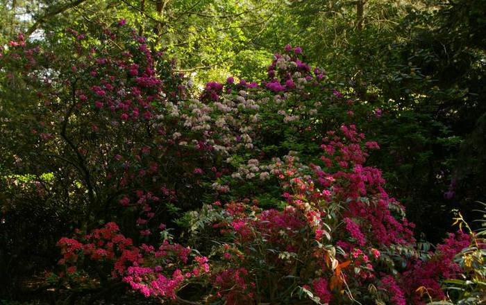 Рододендроновый парк-Westerstede Rhododendronpark. 27021
