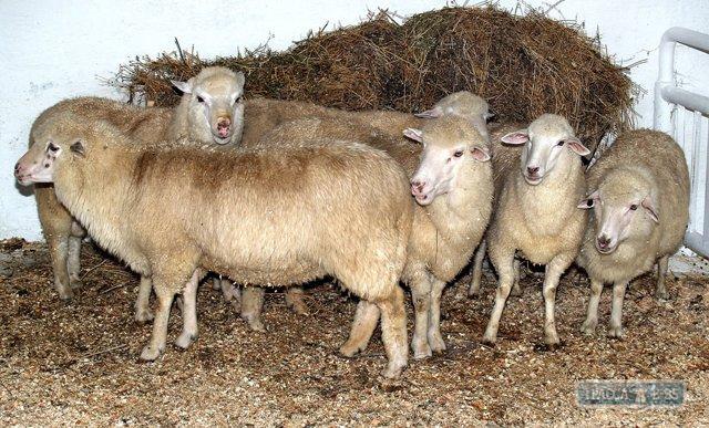овцы (640x387, 83Kb)