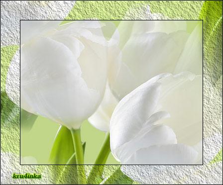 Белые-тюльпаны (448x372, 219Kb)
