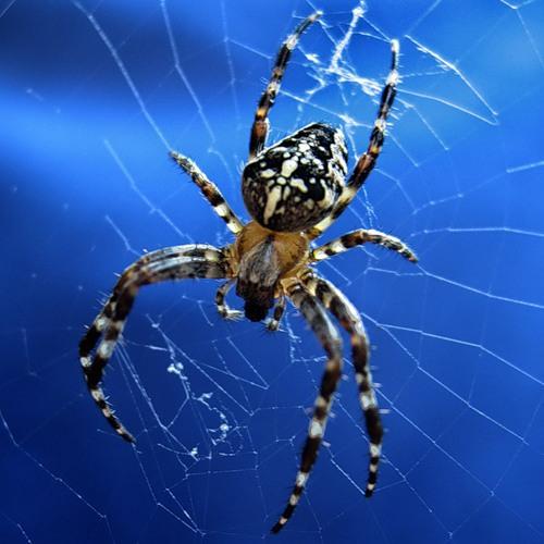 Spider1 (500x500, 59Kb)