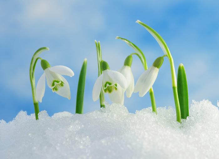 snowdrops_01 (700x508, 298Kb)