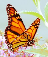 butterfly (170x200, 13Kb)