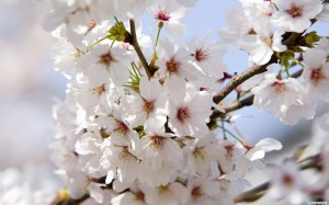 1241782269_wonderful-flowers-wallpapers-pack-3-09-1-300x187 (300x187, 19Kb)