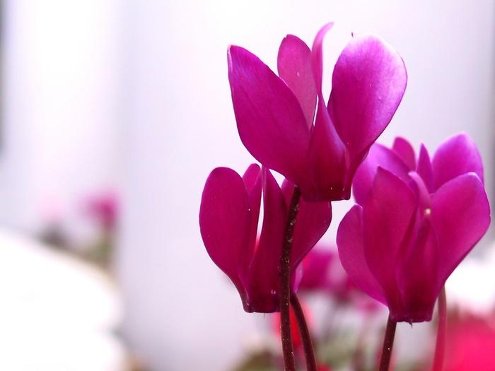 Картинки цветок цикламен 2