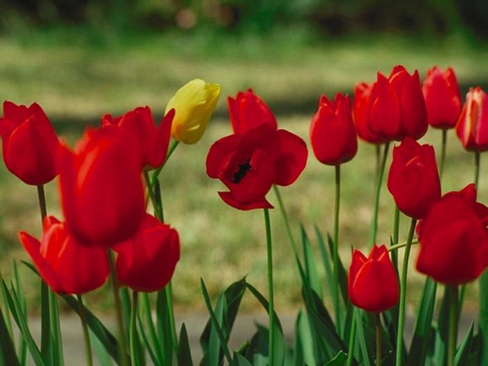 В Европе тюльпан появился