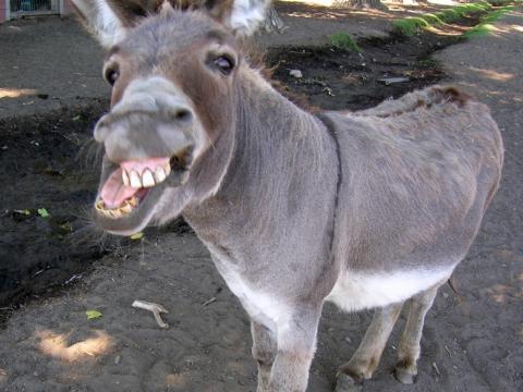 donkey (480x360, 31Kb)