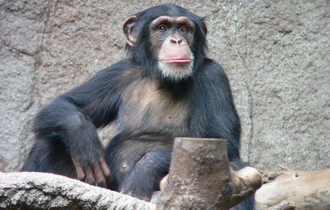 шимпанзе фото (670x427, 64Kb)