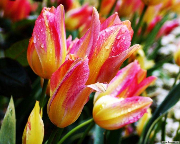 40583783_tulipan125 (700x560, 71Kb)