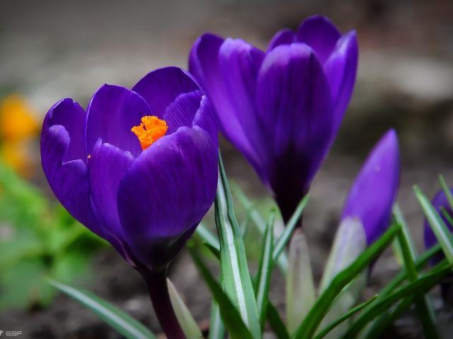 Hq крокусы, синие, цветы, 1920x1200 картинки на рабочий стол, широкоформатные обои, фоны