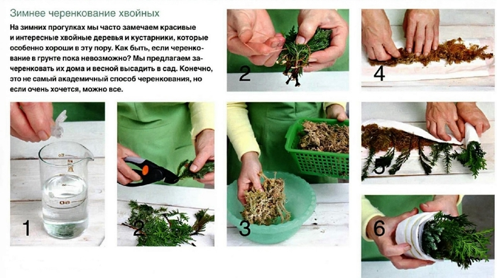 Выращивание ели в домашних условиях из черенков