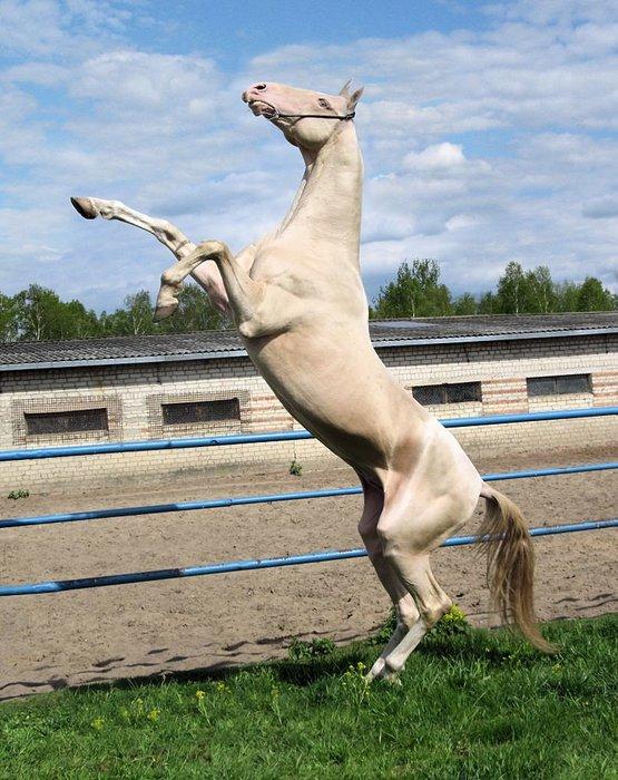 horse-izobel-02 (555x700, 102Kb)