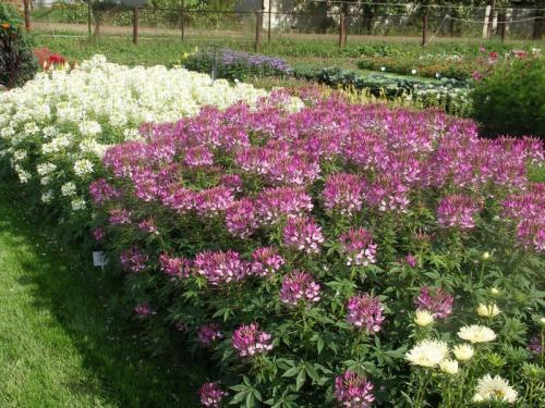 Клеома цветы