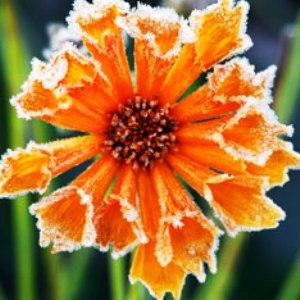 Цветы на 8е марта (300x300, 28Kb)