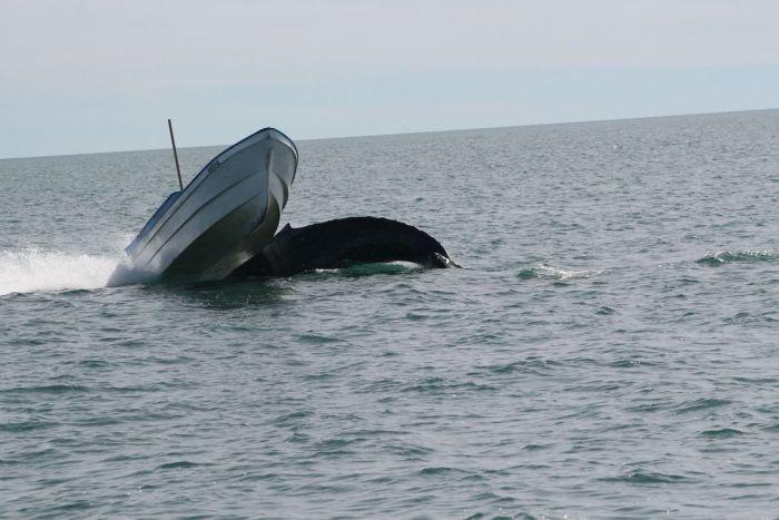 кит налетел на лодку фото 3 (700x467, 50Kb)