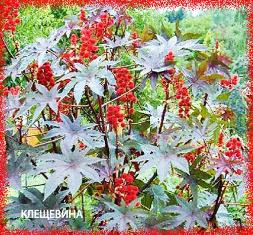 3755121_kleshevinaobiknovennaya (500x463, 180Kb)