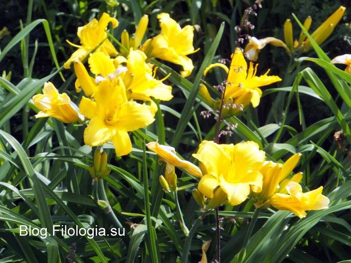 Желтые цветы. Фото/3241858_Zverty6 (700x524, 103Kb)