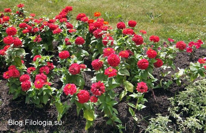 Ярко красные цветы. Клумба/3241858_Zverty8 (700x451, 150Kb)