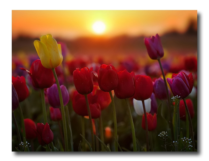 3303834_tulips_1 (700x540, 233Kb)