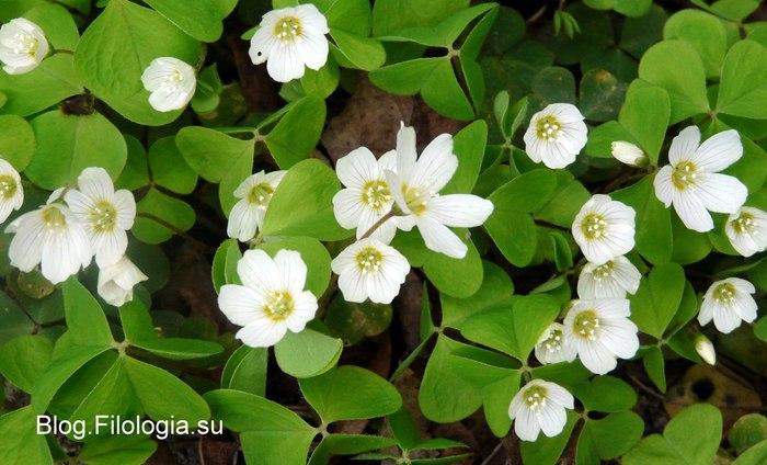 Нежные белые цветы/3241858_Zverty14 (700x424, 78Kb)