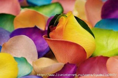 88_roses-3-300x199 (410x271, 49Kb)