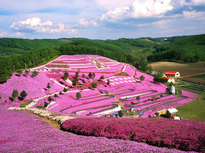 Холм Shibazakura цветение флоксов 7 (700x525, 227Kb)
