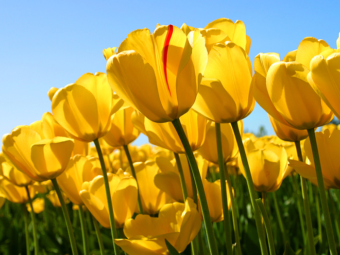 Tulips (700x525, 370Kb)
