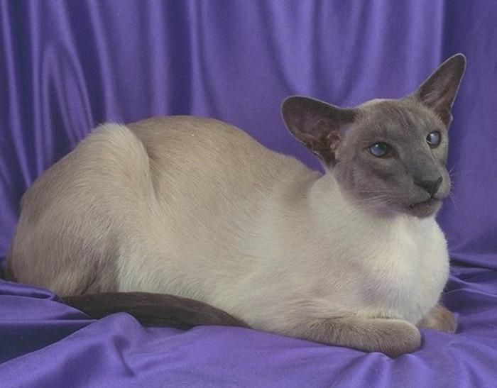 Так постепенно выработался современный вид сиамской кошки - как один из видов кошки ориентальной - с худым телом...