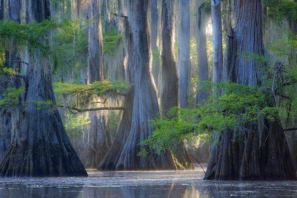 Озеро Каддо находится в США штат Техас, это охраняемая территория, на которой произрастают самые большие кипарисовые леса на планете (604x402, 66Kb)
