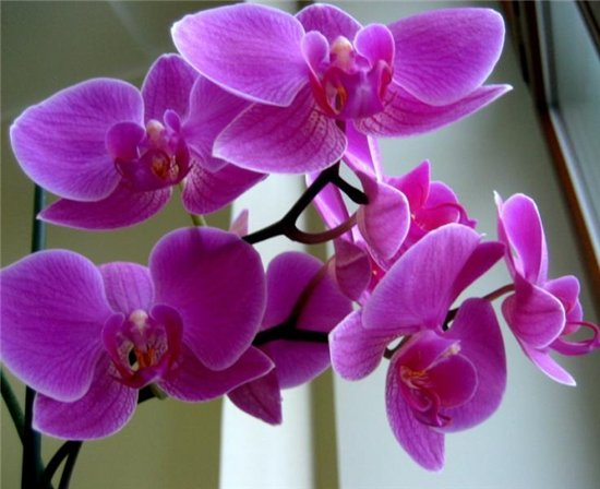орхидея 3 (550x448, 45Kb)